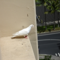 bird flew balcony hawaii hawaiian dove specifically kink