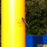 appears dragon fly